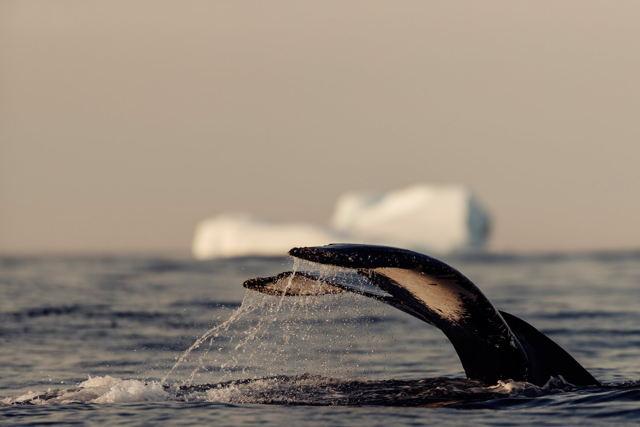 Whale Iceberg 1