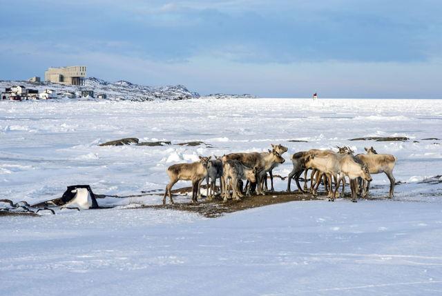 Caribou Caucus