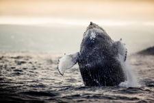 Whale Breach 3