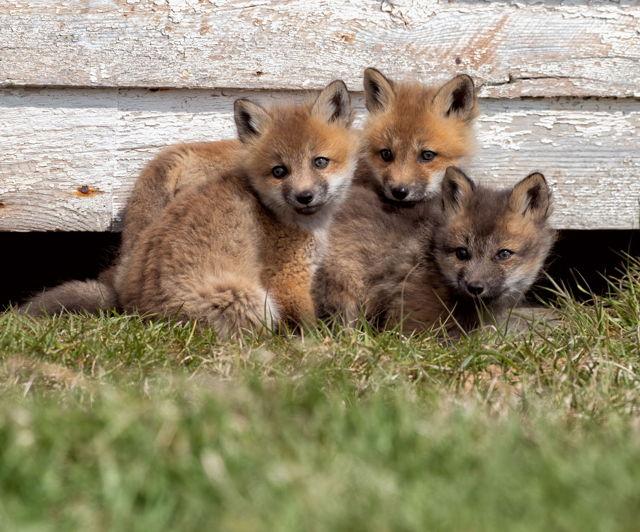 Curious fox kits.