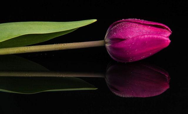 Reflection, Tulip