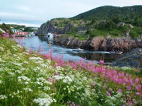 Quidi Vidi in bloom