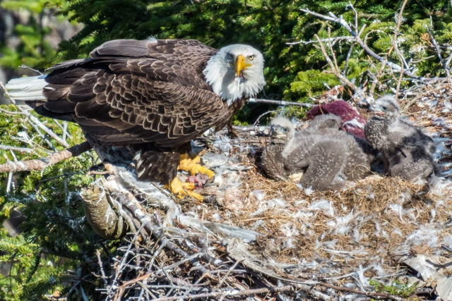 Bald Eagle Feeding At Nest