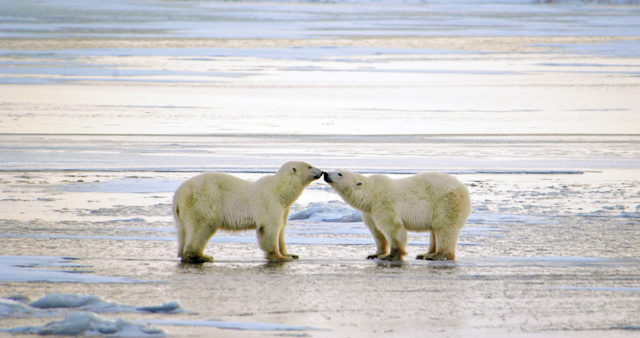 Polar Bear Greeting