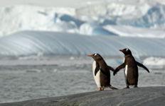 Amor Pinguino, Pleneau Island