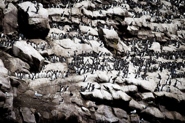 Murres on Gull Island