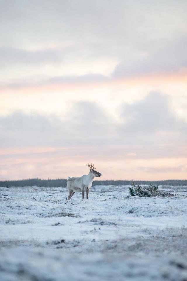 Sunset Caribou