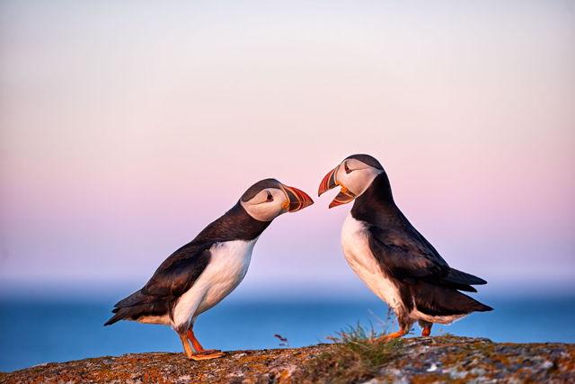 Puffin Love 4