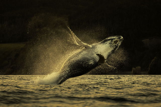 Sideways Breach Humpback