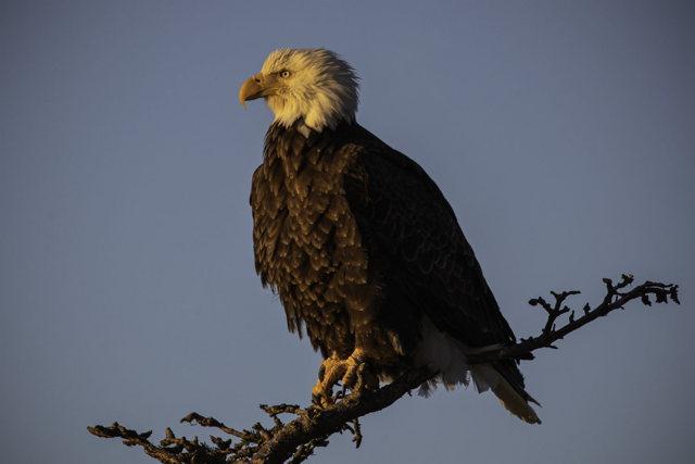 Bald Eagle In Setting Sun