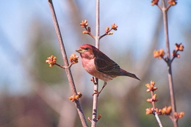 Purple Finch in Red Maple tree
