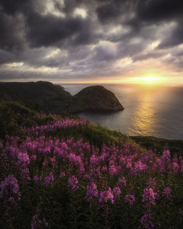 Sunrise Fireweed at Cuckcolds Cove