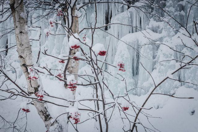 Berries  Ice