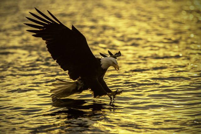 Bald Eagle Golden