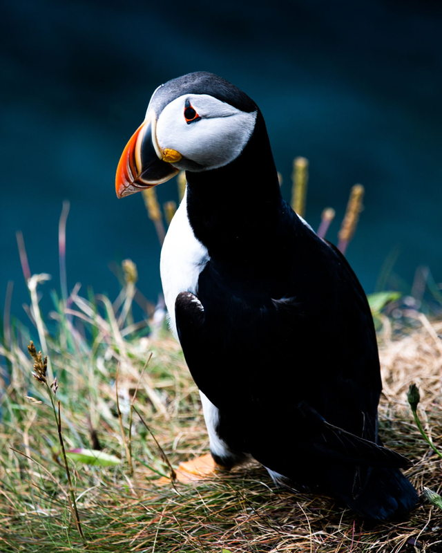 Puffin On The Coast