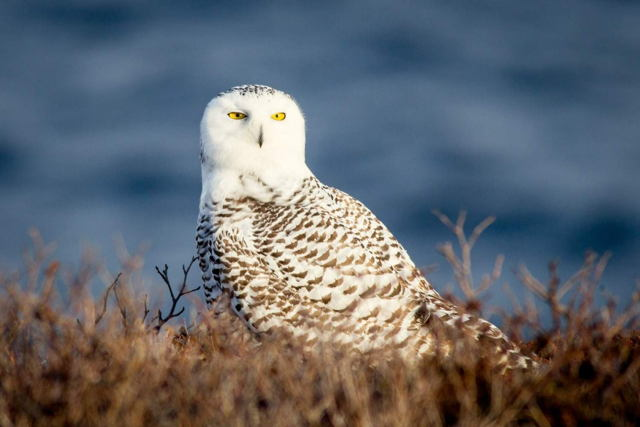 Cape Spear Snowy Owl