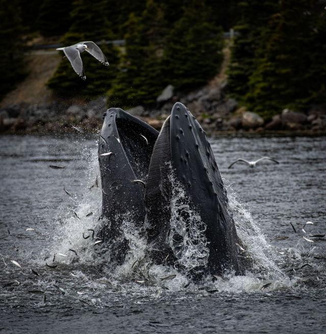 Humback Whale Feeding