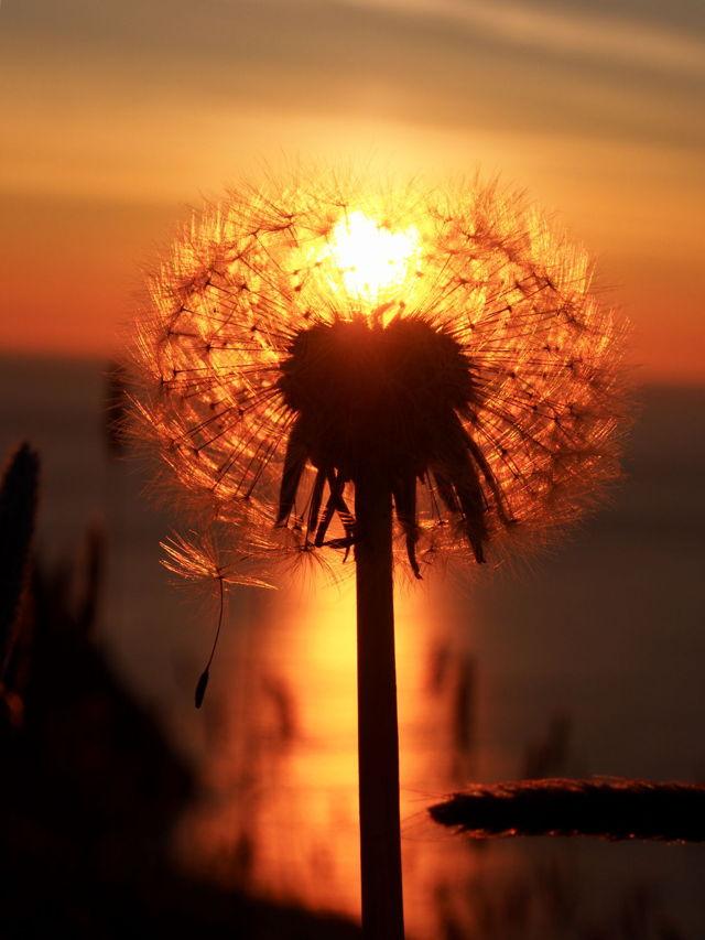 Sunrise and dandelion heart