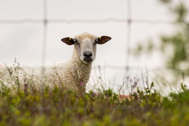 Hey Ewe