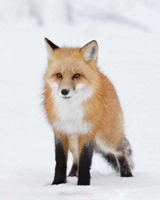 Red Fox Snowy Portrait
