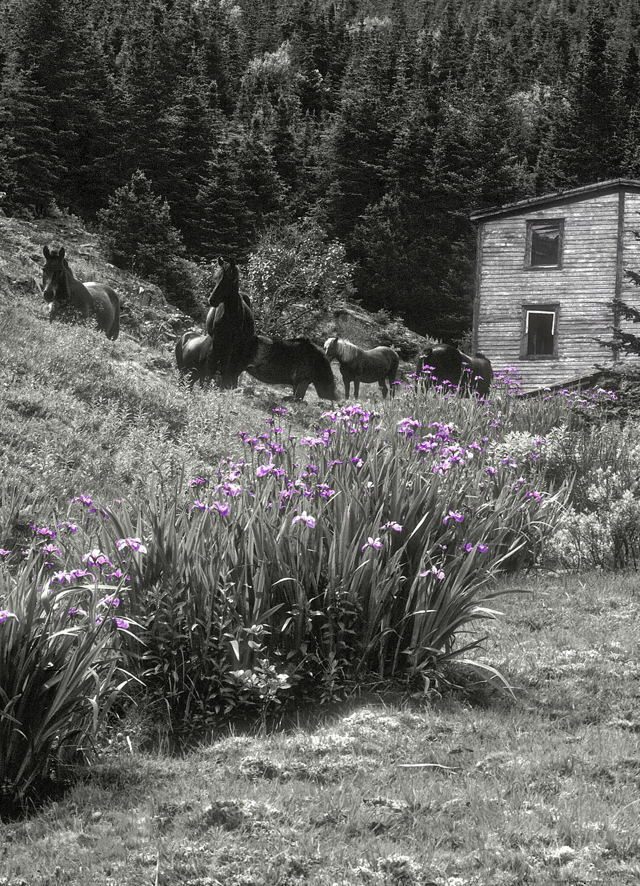 Newfoundland Ponies and Lupins