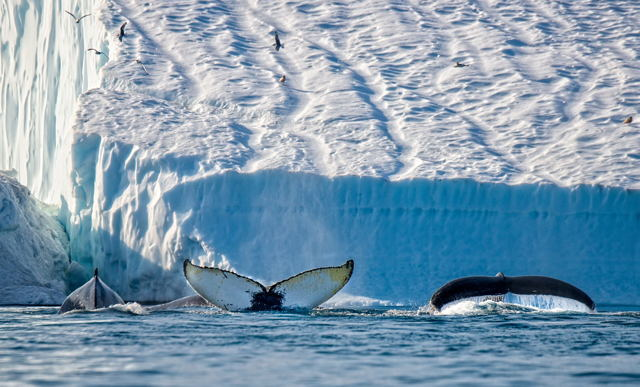 Humpbacks and Iceberg 3