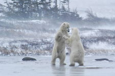 Polar Bears Sparring, Churchill, Manitoba