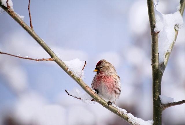 Common Redpoll in Winter