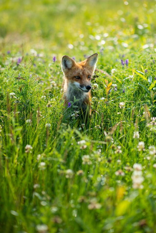 Smiley fox alternate