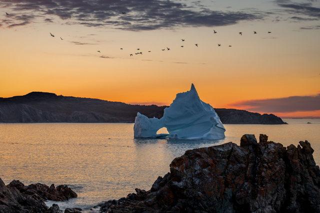 Wild Cove Iceberg Gannetts