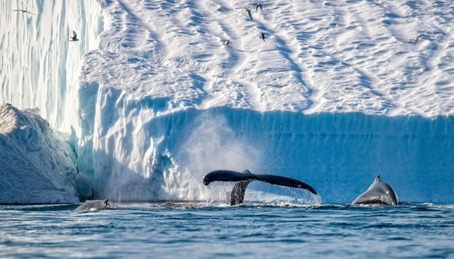 Humpbacks and Iceberg 2