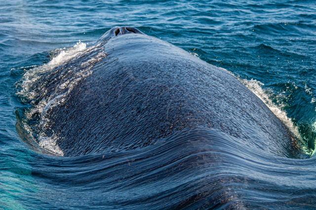 Whale Skin