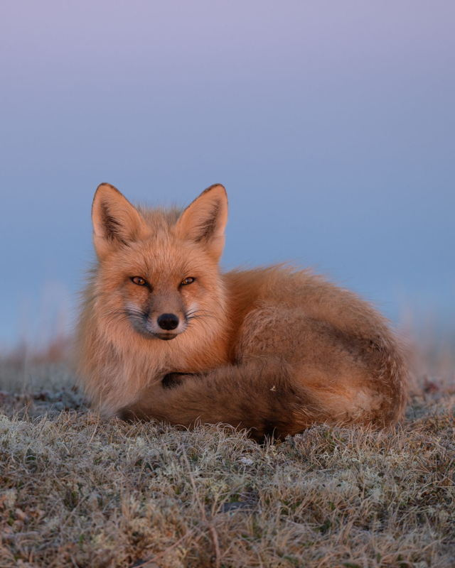 Red Fox Morning Glow