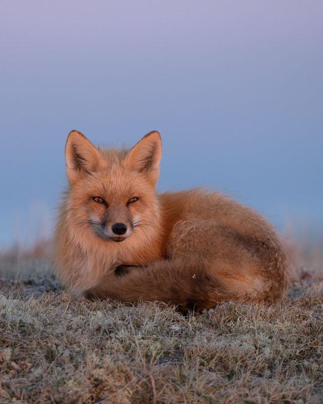 Red Fox Morning Glow