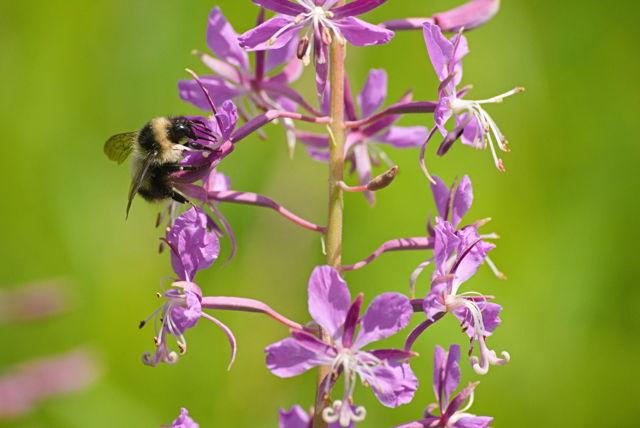 Yellow-banded Bumble bee 2