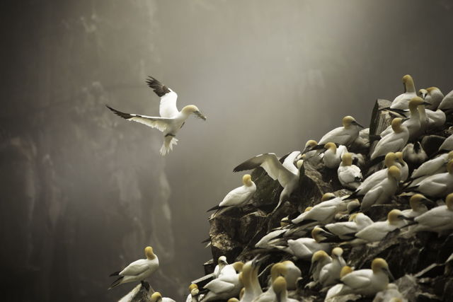 Northern Gannets with nesting material