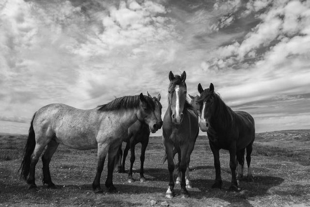 Horses Black  White, Aug. 1st 2016