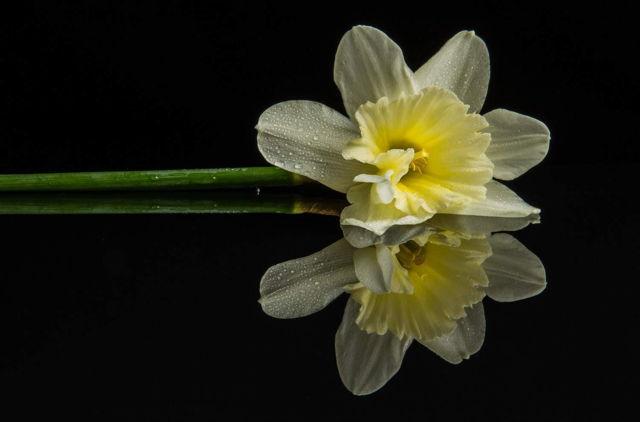 Reflection, Daffodil Face