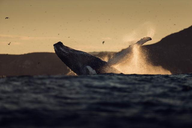 Whale Breach 4