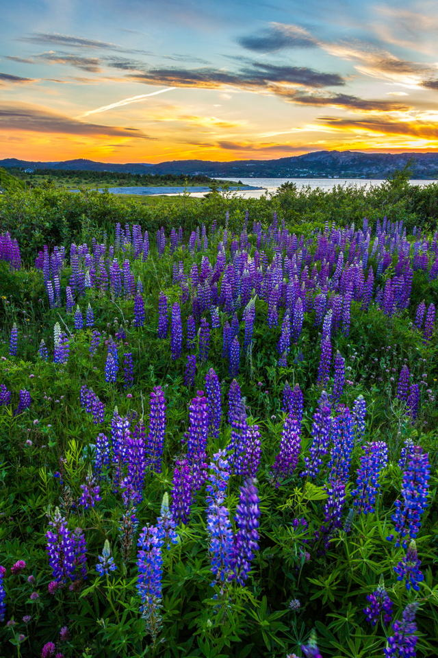 A Field Of Lupins At Sunset
