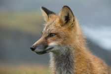 Red Fox Portrait in Rain