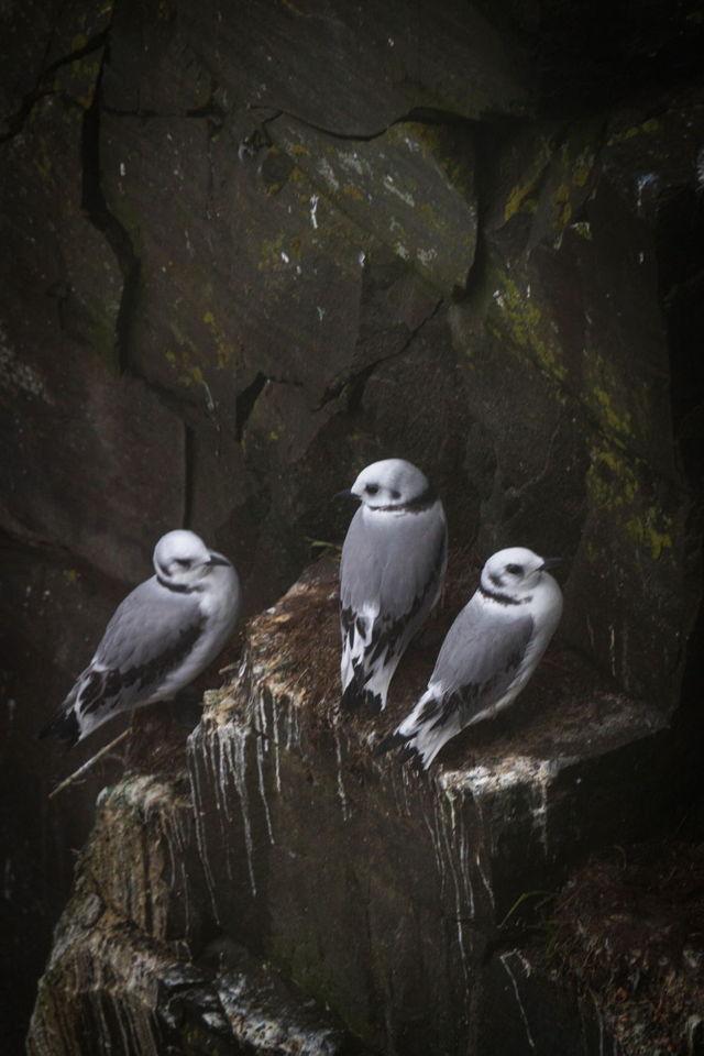 Nesting kittiwakes, Cape St Marys