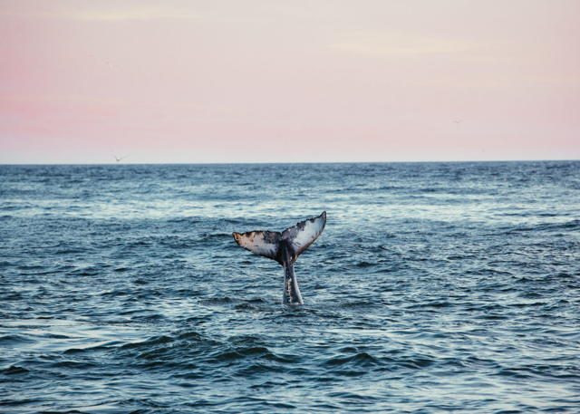 Humpback at Sunset