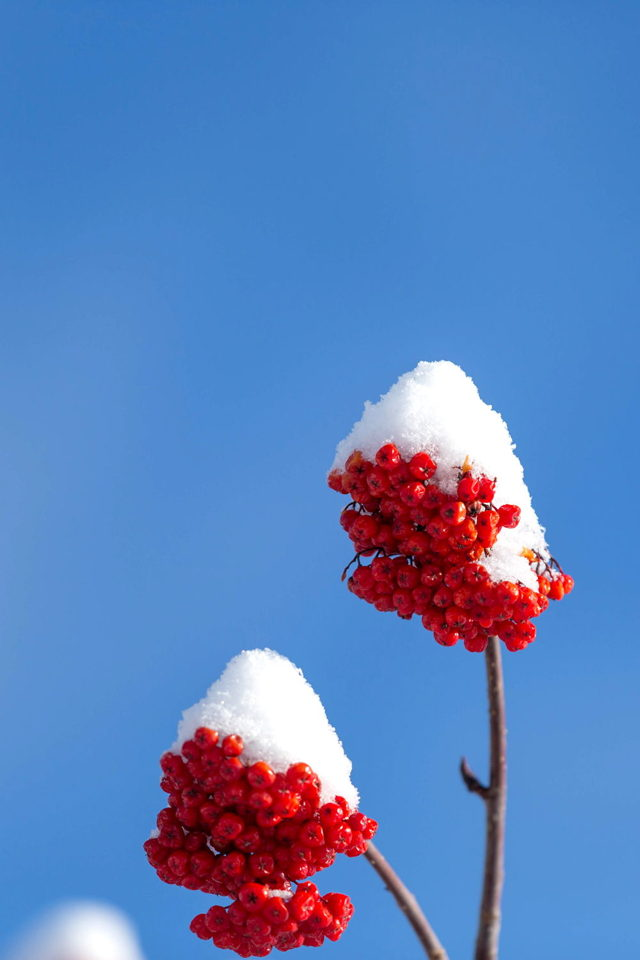 Dogberry Snow cone