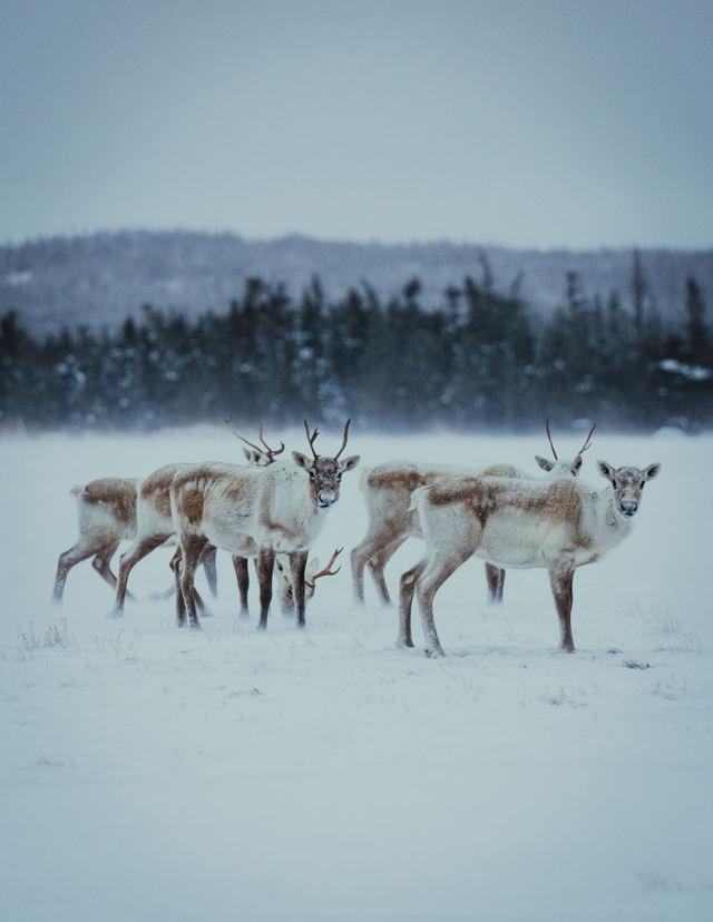 Caribou of the Northern Peninsula