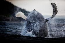 Whale Breach 2