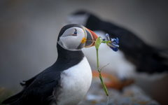 Puffins offering