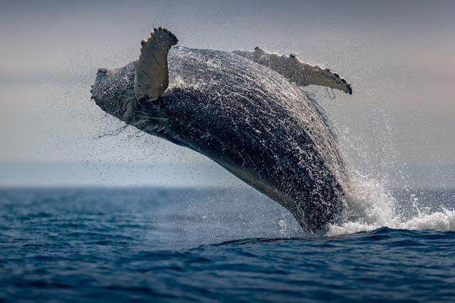 Whale Breach 1