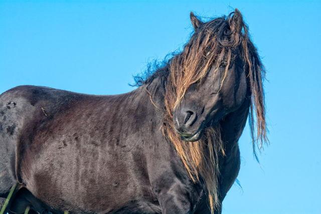 Sable Stallion