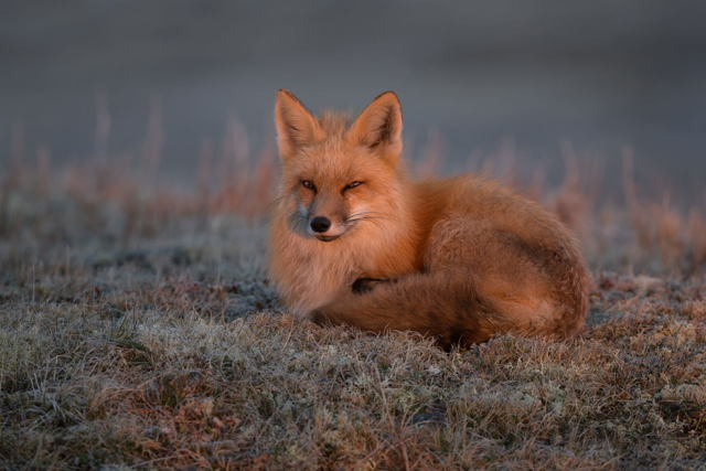 Red Fox at Sunrise
